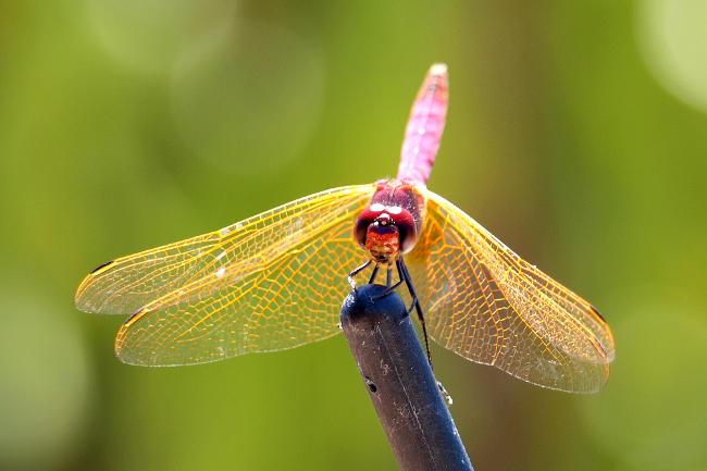 Foto macro di una libellula.
